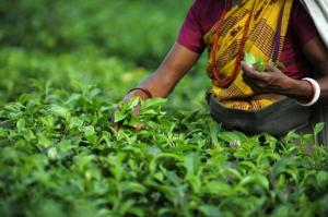 Picture source: http://www.thehindu.com/business/Industry/tea-board-etc-join-hands-to-protect-darjeeling-tea/article4006308.ece